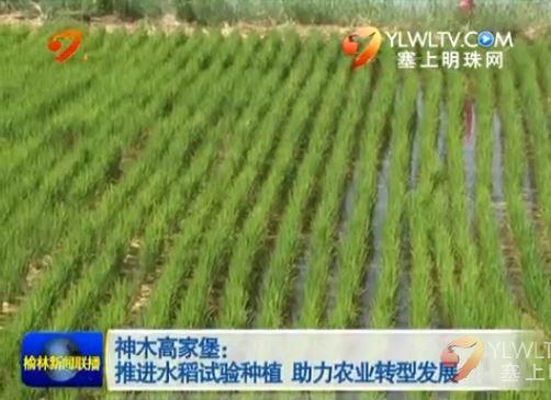 点击观看《神木高家堡:推进水稻试验种植 助力农业转型发展》