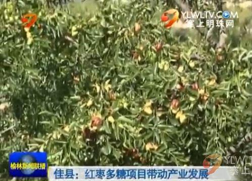 佳县:红枣多糖项目带动产业发展
