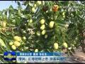 点击观看《清涧:红枣抢鲜上市 游客采摘忙》